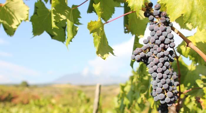wine-chart-white-grapes
